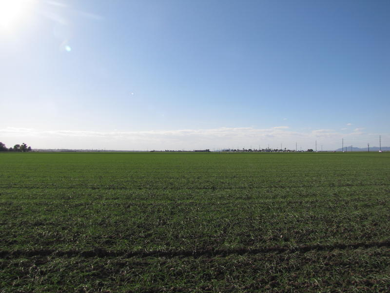 A Smith Farms field in Yuma County, planted with durum wheat