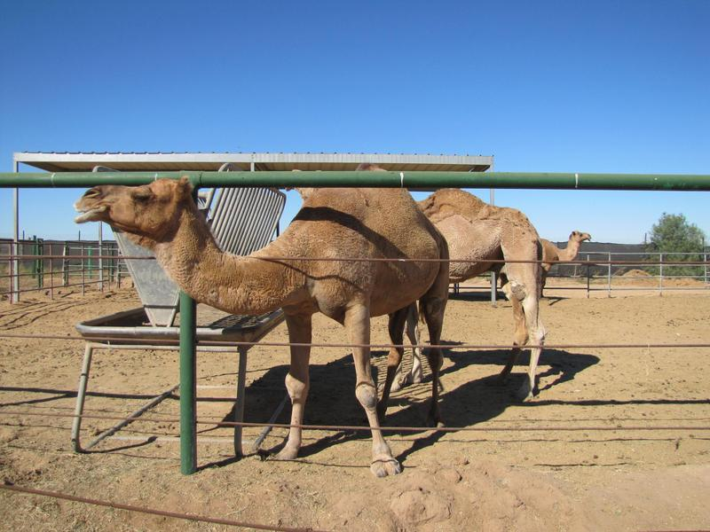 Wild World Zoo camels in 2013