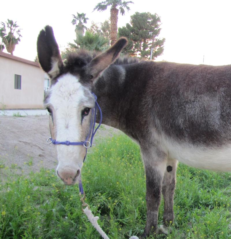 This formerly wild burro now lives on a local farm. In the coming weeks the BLM will collect 470 wild burros off the range for possible adoption.