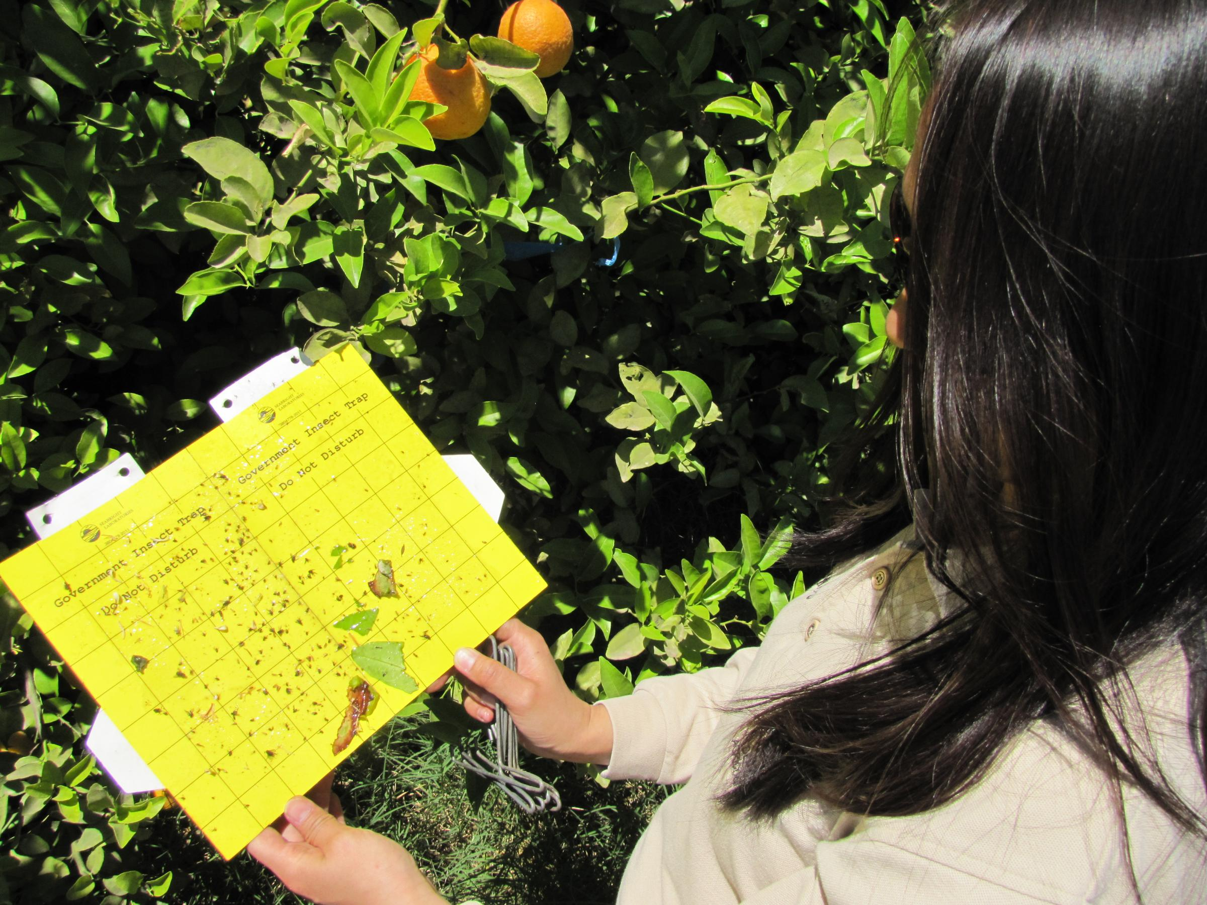 Disease Carrying Insect Threatens Yuma Citrus Industry Kawc