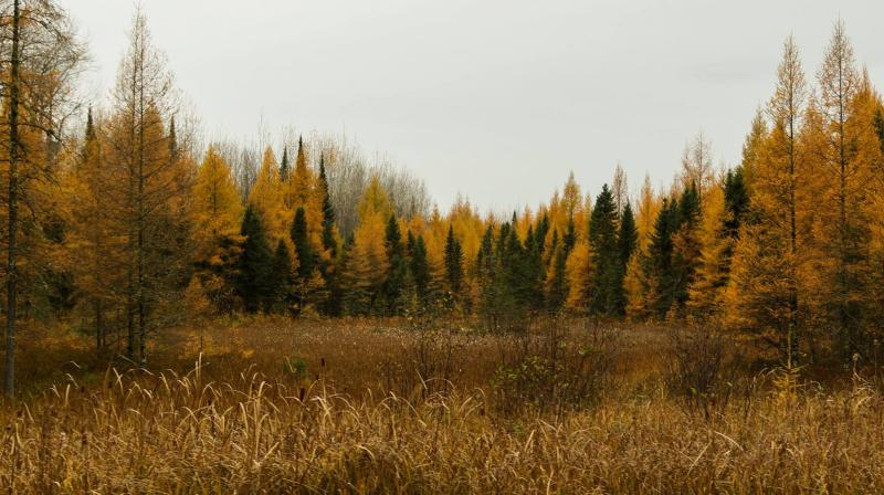 Tamaracks near Bigfork, MN