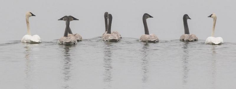 Swans in Bemidji from Mary Gilmour Sorlie
