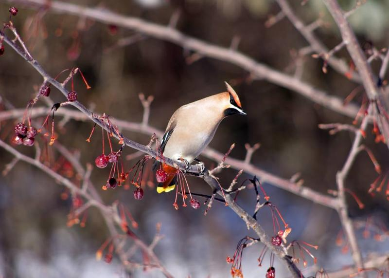Bohemian Waxwing by Bill Marshall