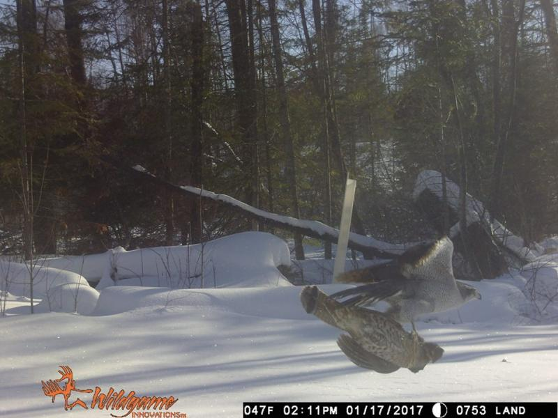 Yep, that's a goshawk flying off with a frozen grouse