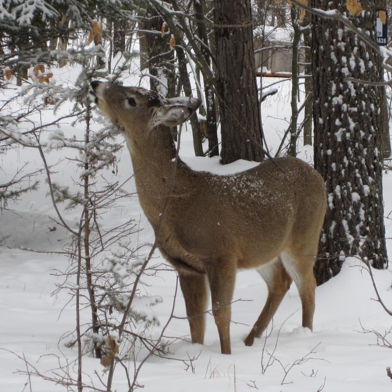 """A """"pesky"""" deer in JoAnn's yard"""