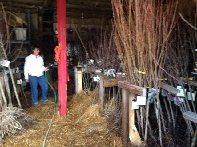 Bare root trees at Gilbys' nursery