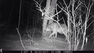 Pregnant Wolf on Game Cam