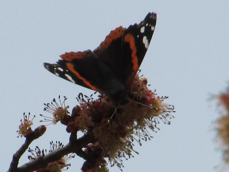 Red Admiral Butterfly on a Red Maple Tree