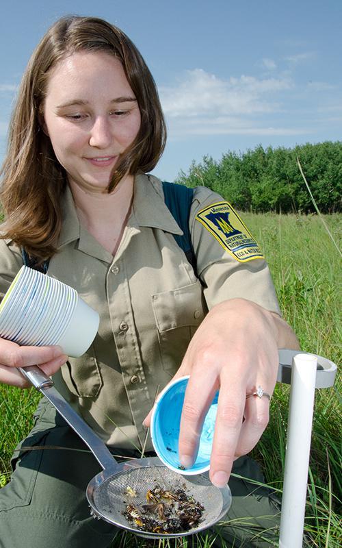 Bee Field Work: Entomologist Crystal Boyd strains a pan trap.