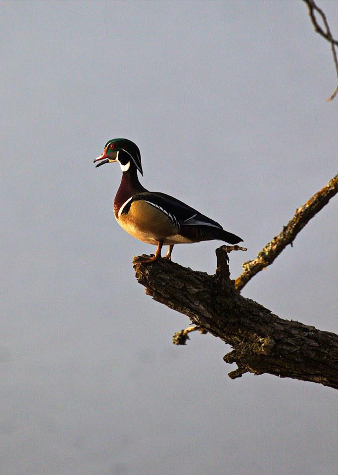 Wood Duck at Lake Bemidji
