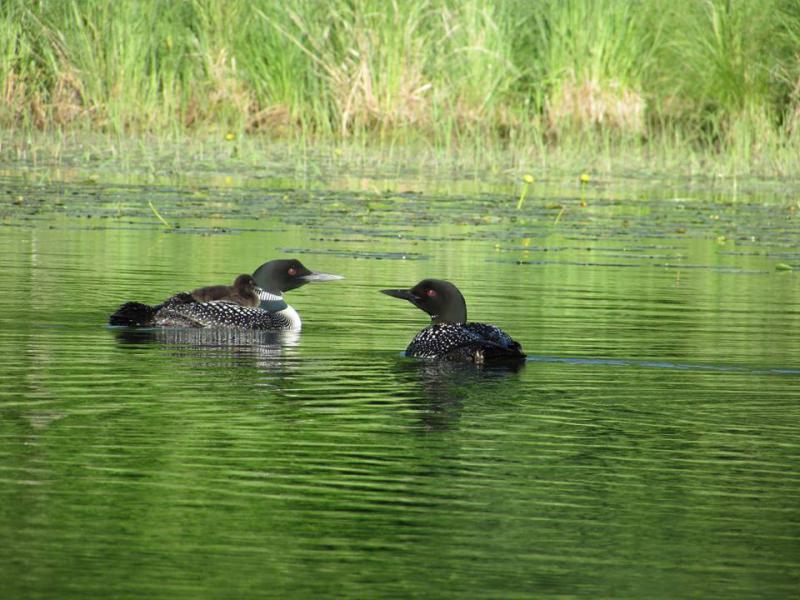 Loon Family at Shingobee Lake