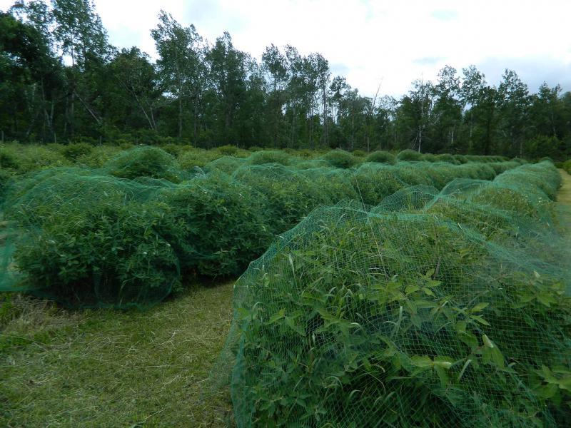 Honeyberry netting