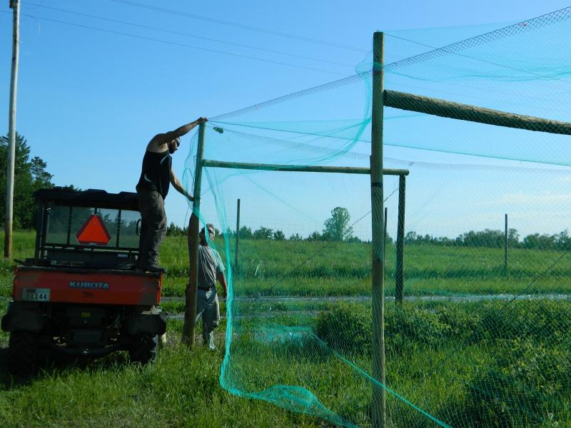 Installing overhead net system at Honeyberry Farm