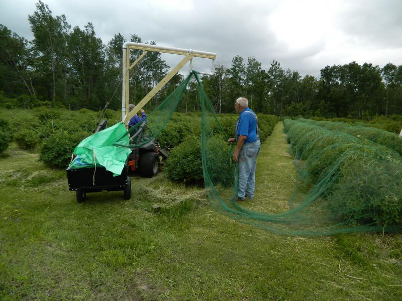 Putting up nets at Honeyberry Farm