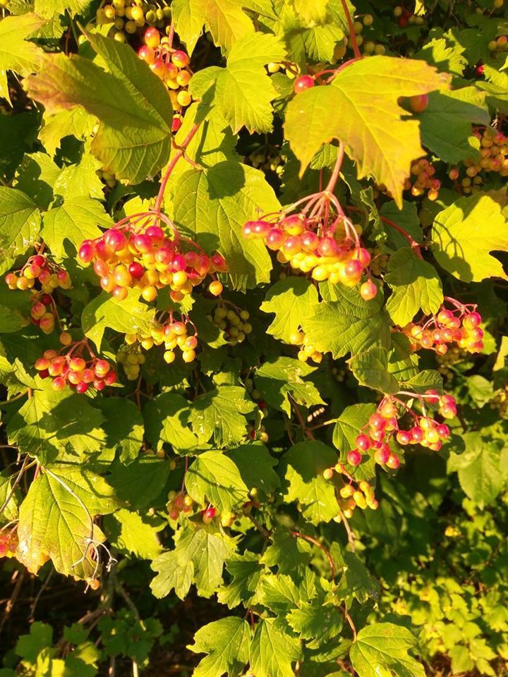 Guelder Rose/Vibernum Opulus