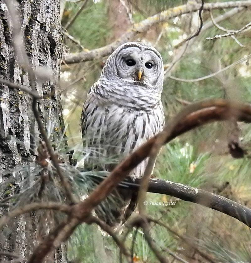 Barred Owl SE Itasca Co.