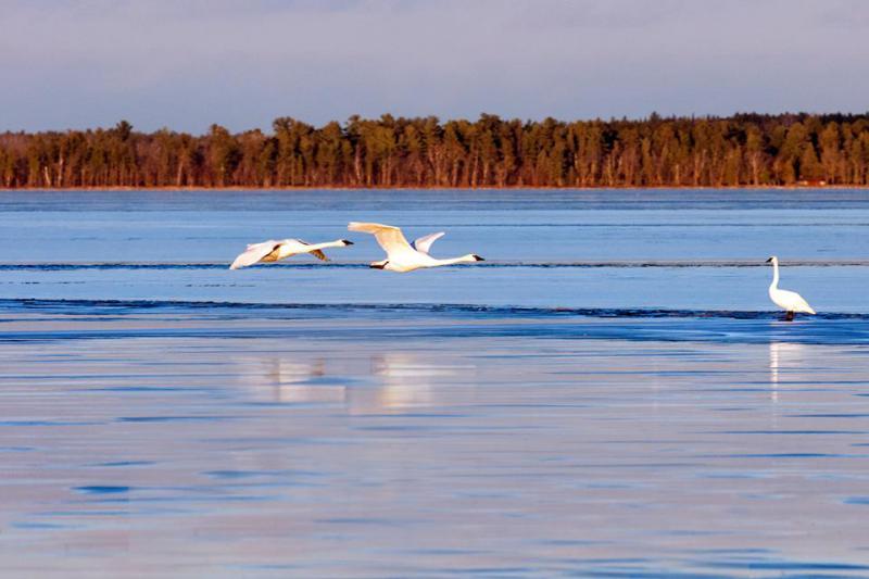 Trumpeter Swans on Lake Bemidji