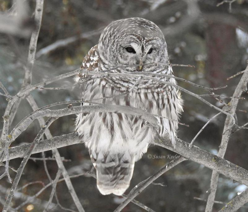 Barred Owl, SE Itasca County