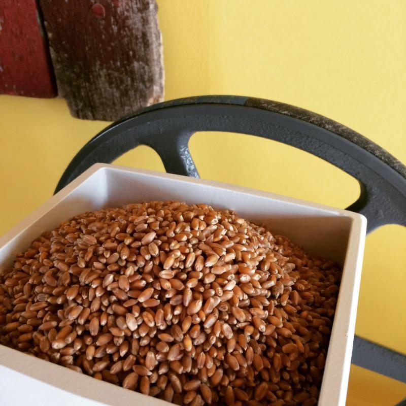 Wheat berries in the grinder