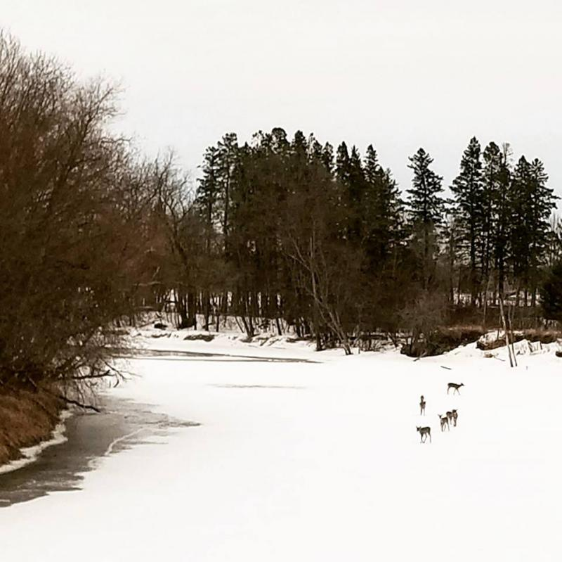 Deer strolling along the Mississippi near Palisade, MN