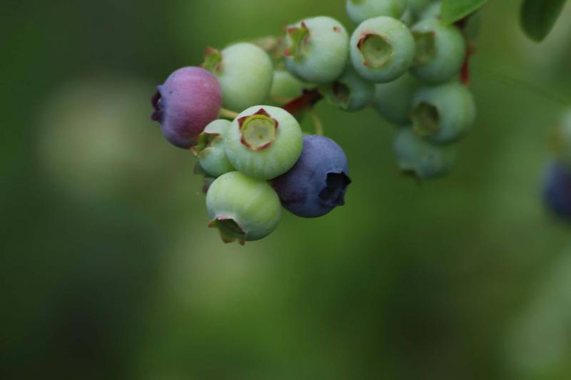 tame berries just starting to turn blue