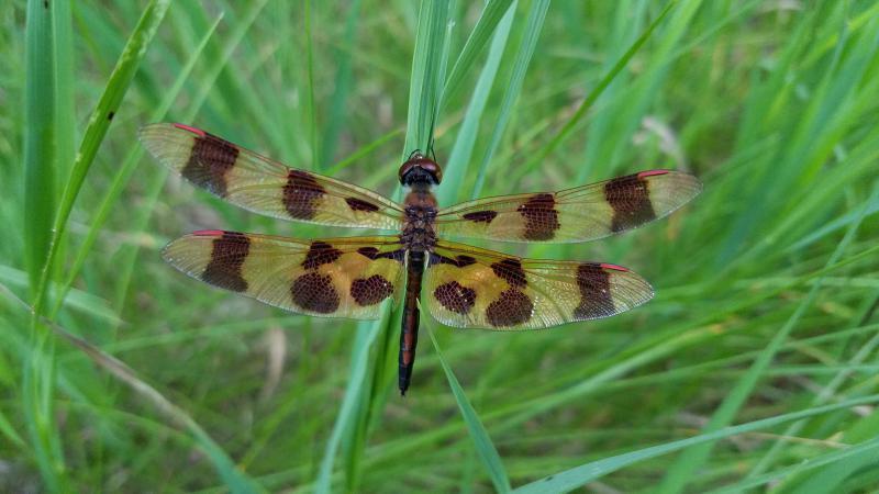 Halloween Pennant Dragonfly near Nisswa, MN