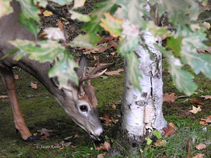 Buck in SE Itasca County