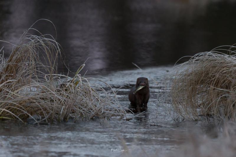 American mink running along frozen creek bed at Bemidji State Park