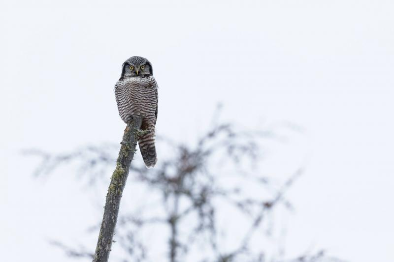 Northern Hawk Owl in the Sax-Zim Bog
