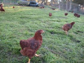 Pasture raised chickens roam at Fiesta Farm in rural Watsonville.