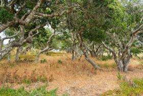 Oaks on the land slated for development and proposed for a development ban.