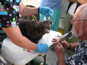 Dr. Mike Murray of the Monterey Bay Aquarium preps a sea otter for surgery.