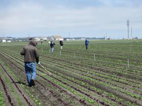 A crew thins a lettuce field in Salinas.