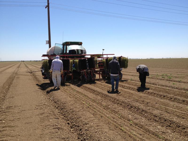 Farm workers plant tomato seedlings at Anthony Pereira's farm.