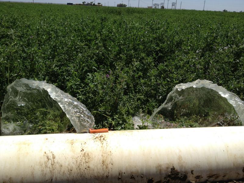 Flood irrigation in a Los Banos alfalfa field.