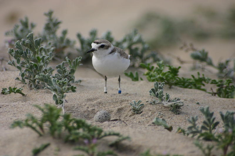 Tags on the snowy plover help Point Blue biologist track the bird throughout its life.