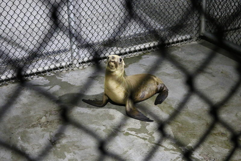 10:00pm: A wounded sea lion pup recovers at Monterey Bay Operations in Moss Landing, a field site for the Marine Mammal Center.