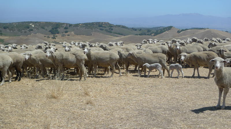11:00am: Sheep have spent the summer grazing Fort Ord National Monument since it was still an army base, in the 1960s.