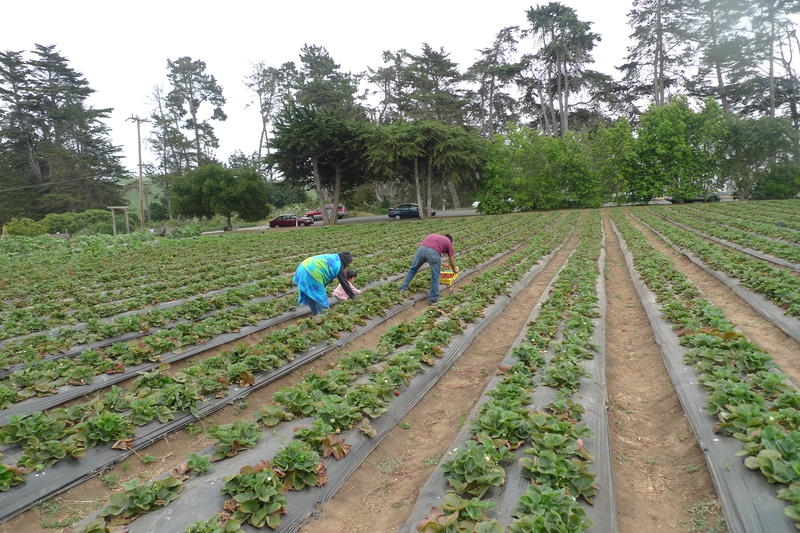 "4:00pm: Guides on a ""Farmworker Reality Tour"" demonstrate the speed and skill required to pick strawberries in Aptos."