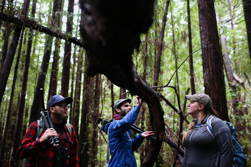 Mushroom hunters Adam Searcy, Christian Schwarz and Courtney Roach search for fungi on a fallen log in Santa Cruz.