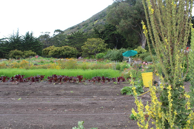 Esalen has its own garden and farm. When Esalen was landlocked, those who decided to stay depended on food from both.