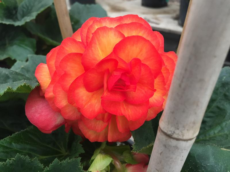 This Begonia is on one of the parent plants at Golden State Bulb Growers in Moss Landing.