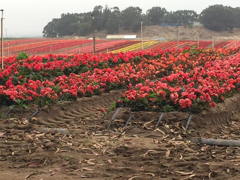 Capitola Begonia Festival float builders will pick flowers from this field near the landfill in Marina this Saturday.