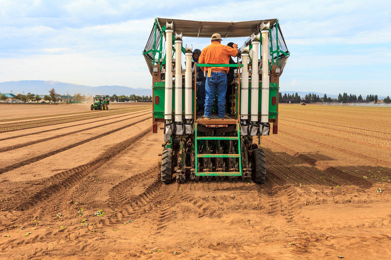 The PlantTape tractor and trailer begin transplanting romaine lettuce.