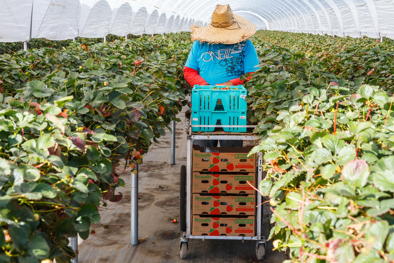 A farm workers harvest strawberries from the table top beds.