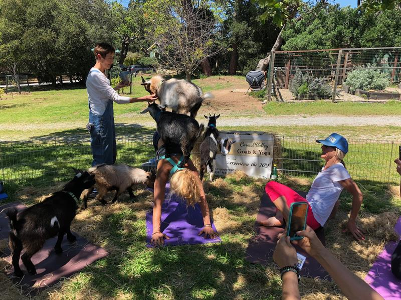 Two goats balance on a student's back as she practices downward dog.