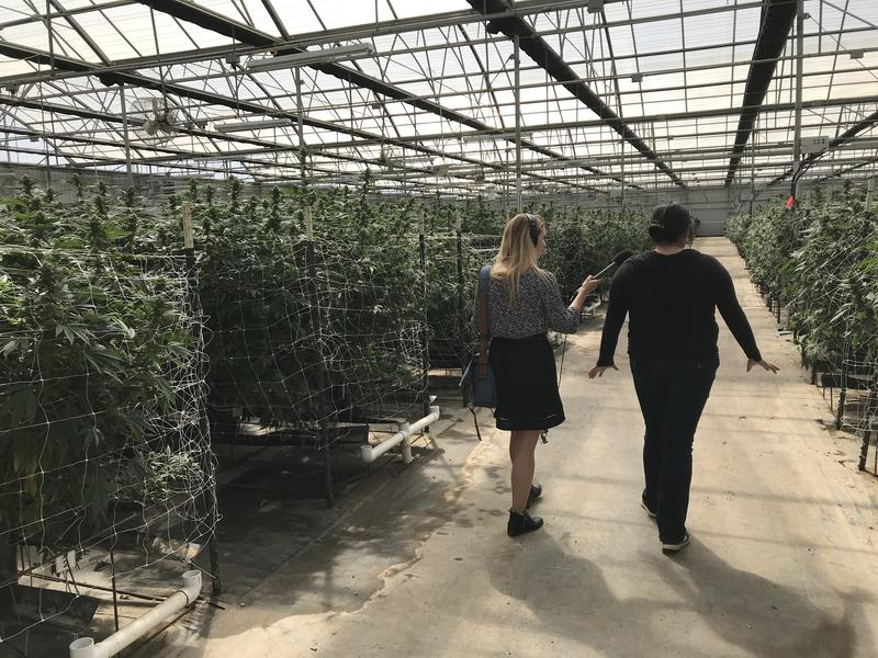 Riverview Farms' President Michelle Hackett walks between rows of marijuana plants. She says the county's cultivation tax is so high the farm is struggling to pay it.