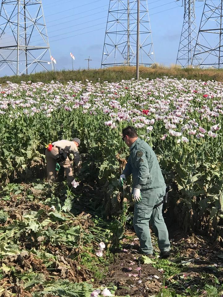 The Sheriff's Office, with help from the National Guard, removed 17 tons opium poppy plants. Removing the plants was their first step so that they didn't get into the wrong hands.