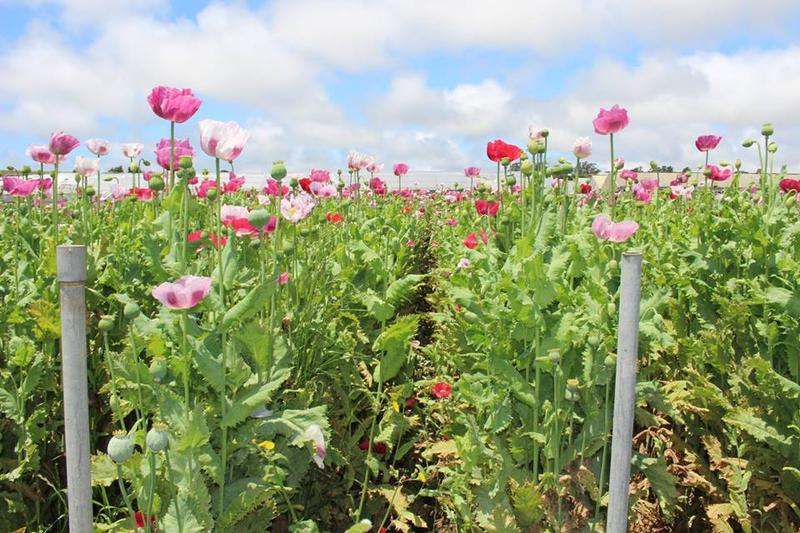 Here's a picture of one of the other seven opium poppy fields discovered.