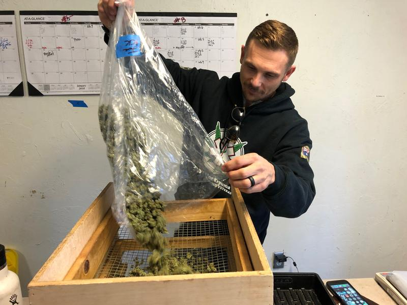 Aaron Newsom, co-founder of the Santa Cruz Veterans Alliance, sorts cannabis flowers.